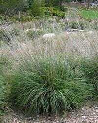 Muhlenbergia rigens deer grass 5' tall 3-6ft wide