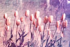 ITAP of a double exposure of purple tulips http://ift.tt/2nsgCBk