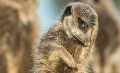 A meerkat appears to look like it's just remembered it needs to be somewhere, in Brigitta Moser's photo from Little Karoo, South Africa. The Comedy Wildlife Photography awards - in pictures Comedy Wildlife Photography, Photography Awards, Animal Photography, Nature Photography, Happy Animals, Animals And Pets, Funny Animals, Cute Animals, Wild Life