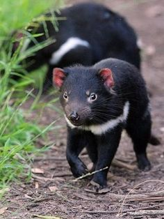Tasmanian Devil, now close to extinction because of a contagious facial tumour.` - Explore the World with Travel Nerd Nici, one Country at a Time. http://TravelNerdNici.com