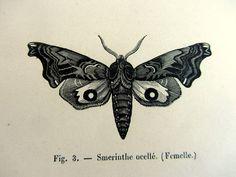 Gravure d'entomologie 1860 antiques papillons par LyraNebulaPrints