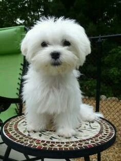 White Maltese sitting on a garden stool.