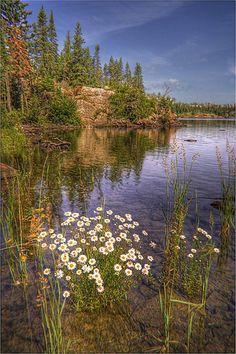 Daisies at Johnson Island, Isle Royale National Park, Michigan