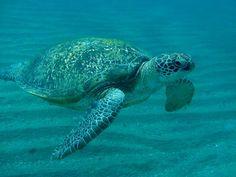 Turtle, Sea Turtle, Egypt