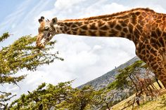 Giraffe using its impressive prehensile tongue