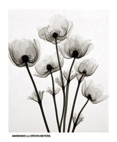"X-ray Flower Prints: ""Anemones"" by Steven N Meyers"