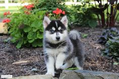 Pomsky Puppy for Sale in Ohio