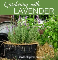 Have you added Lavender to your Garden Yet?  This beautiful easy to grow plant offers many benefits with a variety of ways to enjoy. …