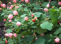 'Pam Puryear' Turk's cap, flower with pink blooms - Texas SuperStar. Texas Native, Drought tolerant, sun and shade Xeriscape Plants, Landscaping Plants, Landscaping Ideas, Texas Gardening, Organic Gardening, Vegetable Gardening, Drought Tolerant Trees, Texas Landscaping, Texas Plants