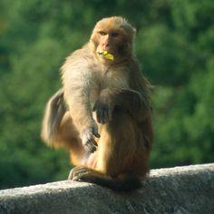 Affen im Tempel, Kathmandu