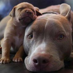 Newest Free dogs and puppies pitbull Concepts Conduct you love your canine? Obviously, people do. Proper canine health care and also instruction will assur Animals And Pets, Baby Animals, Funny Animals, Cute Animals, Nature Animals, Wild Animals, Funny Cats, Cute Puppies, Cute Dogs