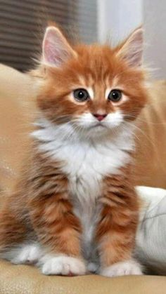 Kittens And Puppies, Cute Cats And Kittens, Kittens Cutest, Ragdoll Kittens, Kittens Meowing, Bengal Cats, Kittens Playing, Bengal Tiger, Puppies Puppies