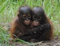 More about the Indonesian Orangutan Rescue | International Animal Rescue