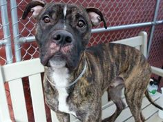 TO BE DESTROYED - 12/24/14 Manhattan Center -P My name is ROCKY BOY. My Animal ID # is A1022708. I am a male br brindle am pit bull ter mix. The shelter thinks I am about 2 YEARS I came in the shelter as a STRAY on 12/09/2014 from NY 11102, owner surrender reason stated was STRAY.