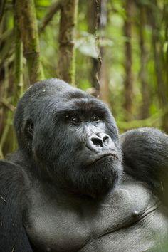 mountain gorilla....