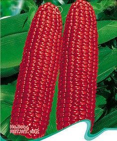 Red Wax Corn Seeds 10 Seeds by Greenworld1 on Etsy