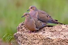 Mourning Doves - gentle, sweet birds with a sad song.
