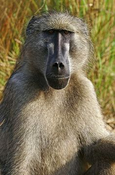 "Africa | ""Baboon portrait"".  Kruger National Park, South Africa 