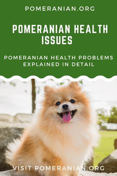 Dog Training Chewing Pomeranian Health Problems Explained in Detail. Training Chewing Pomeranian Health Problems Explained in Detail. Dog Breeds Little, Best Dog Breeds, Small Puppies, Dogs And Puppies, Doggies, Pomeranian Puppy, Pomeranian Facts, Small Pomeranian, Dog Breed Names