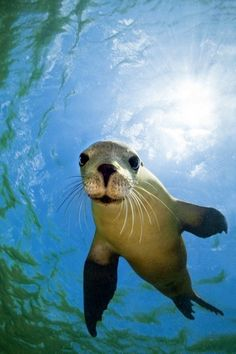 A young Australian sea lion is intrigued by its own reflection in the photographer's underwater camera, Baird Bay, South Australia.