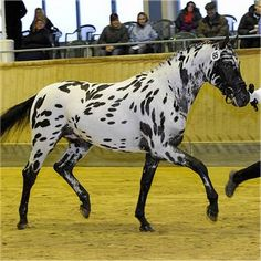 I've been in love with the knabstrupper breed for many many years now. It's one of the breeds I hope to own one day.