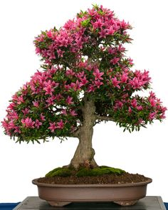 """Bonsai is considered the art and science of aesthetic miniaturization of trees and plants in pots or containers. In Japanese, a bonsai means """"tray-planted"""". A bonsai plant is not really a dwarf plant but has rather equal characteristics to the. Bonsai Azalea, Wisteria Bonsai, Flowering Bonsai Tree, Bonsai Tree Care, Indoor Bonsai Tree, Bonsai Trees, Home Garden Plants, Bonsai Garden, Growing Tree"""