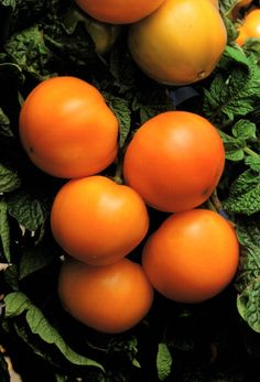 A properly pruned tomato plant produces large fruits at a steady rate until the first frost of the season strikes it. Amazing Pruning your Tomato Plants Ideas. Types Of Tomatoes, Growing Tomatoes, Pruning Tomato Plants, Best Tasting Tomatoes, Baby Tomatoes, Tomato Farming, Orange Fruit, Tomato Salad, Herbs