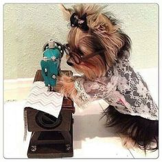 Oh my! Yorkie sewing!