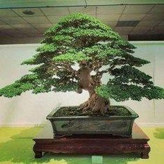 Elegant Bonsai Trees Ideas For Indoor Garden. Below are the Bonsai Trees Ideas For Indoor Garden. This post about Bonsai Trees Ideas For Indoor Garden was posted under the category by our team at June 2019 at pm. Hope you enjoy it and don& forget . Bonsai Tree Care, Bonsai Tree Types, Bonsai Trees, Bonsai Ficus, Maple Bonsai, Juniper Bonsai, Indoor Bonsai Tree, Indoor Trees, Tree Outline