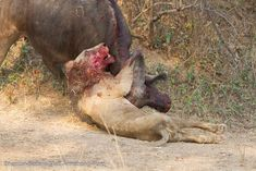 Deep in the South Luangwa National Park, guests from Kaingo and Mwamba Camps were witness to an epic battle between lion and buffalo.