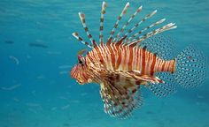 Invasive Lionfish: Coming to a Whole Foods Near You?