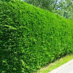 Evergreen screen on pinterest privacy screens evergreen for Fast growing fence covering plants
