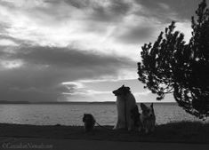 Three dogs and a Puget Sound storm: miniature dachshund, rough collie and Cardigan Welsh corgi dog storm watchers at Emma Schmitz Memorial Overlook, West Seattle, Washington, Cascadia. Seattle Washington, Washington State, Corgi Dog, Dachshund, West Seattle, Black And White Landscape, Dog Stories, Rough Collie, Photography Challenge