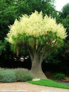 Comparto la belleza de este árbol Nolina Recurvata