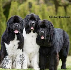 Perfection one day soon!!!! I will get my Newfies again, miss my pals with all my heart LM x but don't miss the mess❤️
