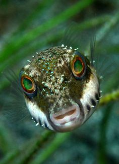 'Stare' by Underwater Photographer Keri Wilk ~~ A bandtail puffer comes in for a close look. Underwater Creatures, Underwater Life, Fauna Marina, Life Under The Sea, Beneath The Sea, Underwater Photographer, Wale, Beautiful Fish, Sea And Ocean