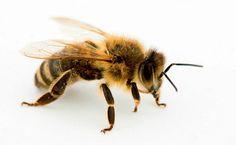 Resultado de imagem para asa de abelha