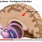 How the Body Works : The Regions of the Brain Brain Anatomy And Function, Structure Of Bone, Kids Sites, Heart Anatomy, Human Anatomy And Physiology, Traumatic Brain Injury, Some Body, Body Systems, Science Projects
