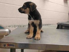 11/15/16-HOUSTON - HIGH KILL FACILITY - ALL DOGS URGENT DUE TO OVERCROWDING -This DOG - ID#A472347 I am a female, black and brown German Shepherd Dog mix. The shelter staff think I am about 11 weeks old. I have been at the shelter since Nov 14, 2016. This information was refreshed 35 minutes ago and may not represent all of the animals at the Harris County Public Health and Environmental Services.
