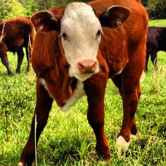 Pretty Hereford mix calf.