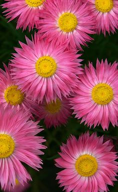Ever-lasting / Paper-Daisies [Helichrysum] - Flickr - Photo Sharing!