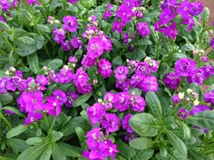 Purple stock has a beautiful fragrance. They are ideal candidates for spring containers.