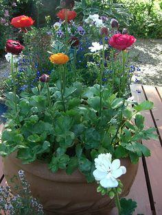 Ranunculus in pots Ranunculus, My Happy Place, House Plants, Garden Design, Flora, Succulents, Planters, Home And Garden, Herbs