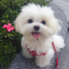 Simply adorable! #maltese