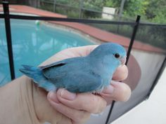 """a parrotlet I shall name """"Blueberry"""" Funny Birds, Cute Birds, Pretty Birds, Beautiful Birds, Budgie Parakeet, Budgies, Cute Baby Animals, Animals And Pets, Pacific Parrotlet"""