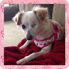 Lodi, CA - Pomeranian/Chihuahua Mix. Meet Charley, a dog for adoption. http://www.adoptapet.com/pet/12472201-lodi-california-pomeranian-mix