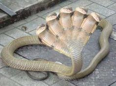 As if a one-headed poisonous snake wasn& scary enough: Conjoined twins snake king cobra. This snake was found at a temple in Karnataka. Looks like a creature from mythology .This condition, in which animals or humans, have more than one head called p Unusual Animals, Rare Animals, Animals And Pets, Funny Animals, Wild Animals, Extinct Animals, Beautiful Creatures, Animals Beautiful, Conjoined Twins