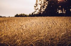 💚 Brown Wheat Field - download photo at Avopix.com for free    ✅ https://avopix.com/photo/46250-brown-wheat-field    #wheat #field #cereal #grain #agriculture #avopix #free #photos #public #domain