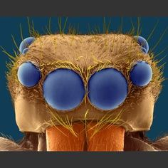 Aerop-Enap's eight eyes