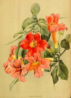 Blood Red Trumpet Vine (1884)